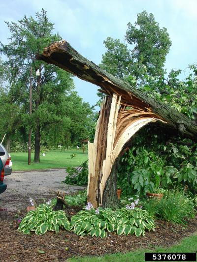 storm damaged tree that has cracked at the base and fallen over