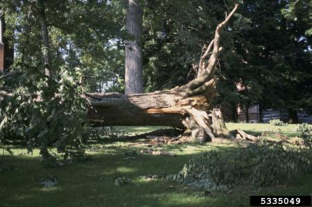storm damaged tree that has been uprooted and knocked over