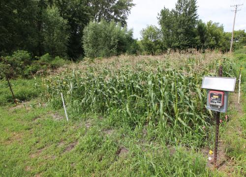 small scale electric fence around sweetcorn patch