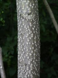tree of heaven trunk showing dark bark with light diamond shaped spots