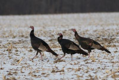 three hen turkeys in a field with corn stubble during the winter