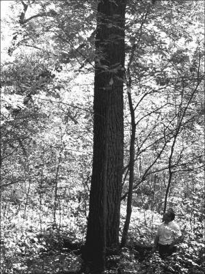 black walnut tree showing bark
