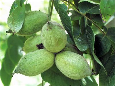 bitternut fruit