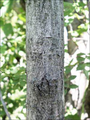 bitternut trunk showing bark