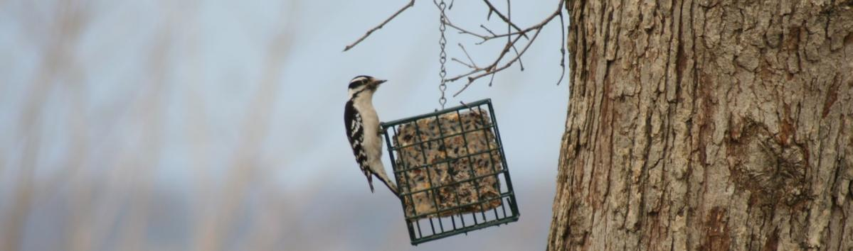 Downy Woodpecker at a suet feeder