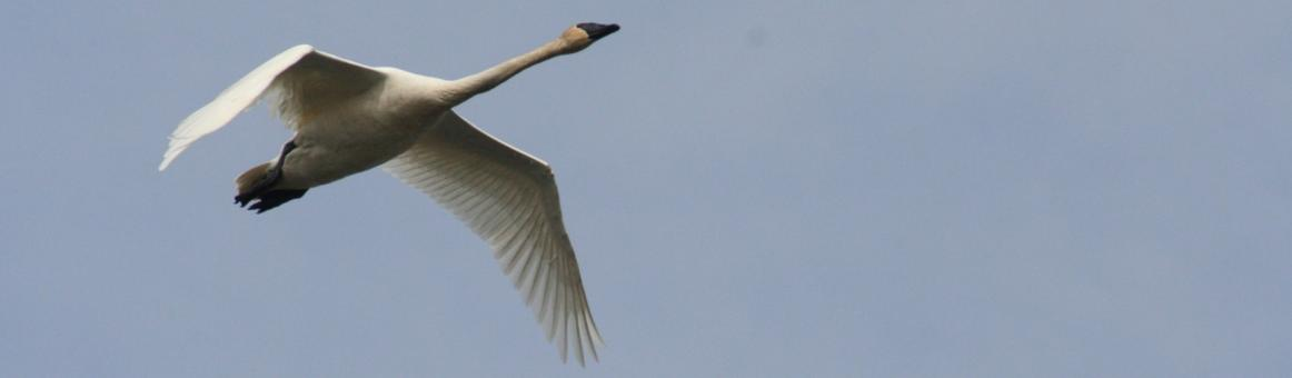 Photo of a Trumpeter Swan, an Iowa conservation success story