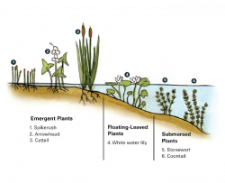 illustration showing emergent, floating-leaved, and submersed plants