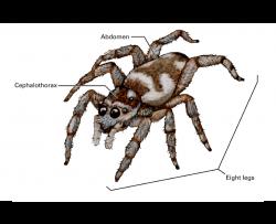 abdomen, cephalothorax, eight legs