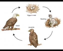 bald eagle life cycle