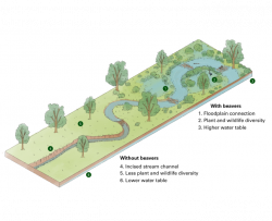 illustration comparing an ecosystem with beavers and without beavers demonstrating healthier ecosystems with beavers