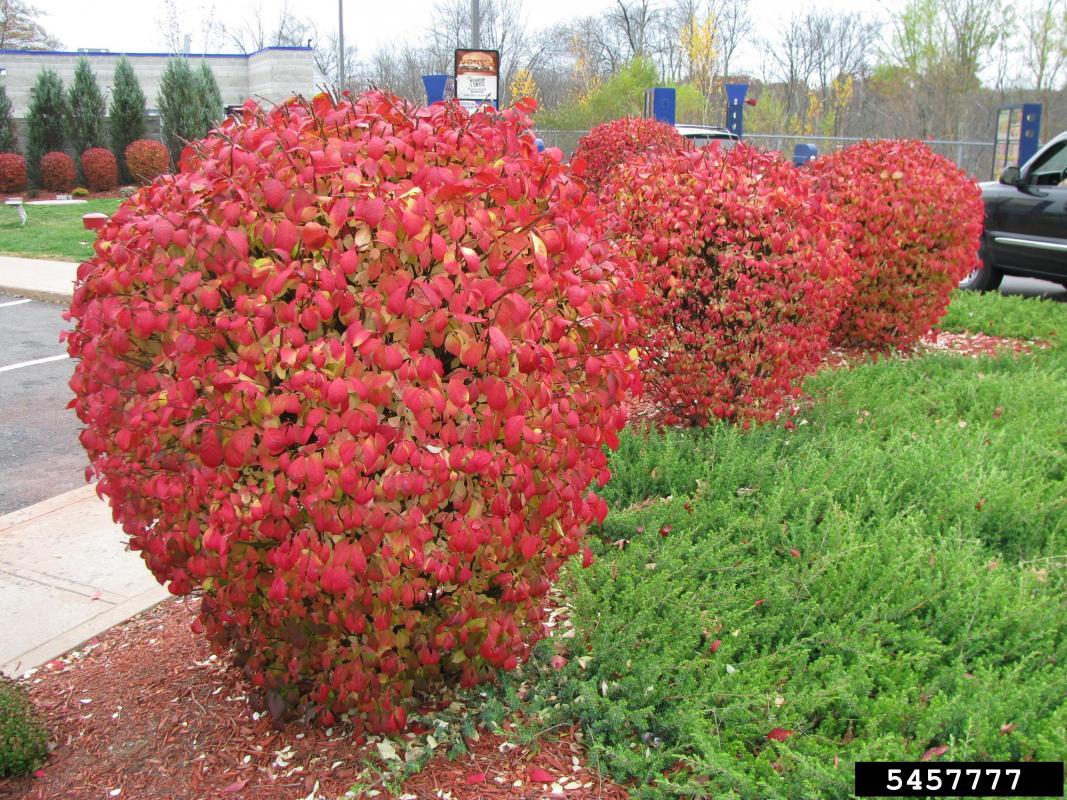 exotic burning bush with red foliage