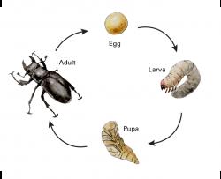 stag beetle life cycle showing complete metamorphosis