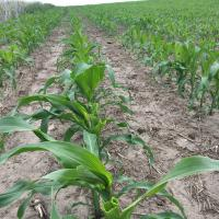 Damage to a corn field