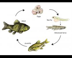 fathead minnow life cycle