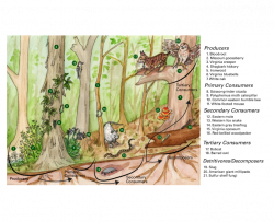forest food web showing producers, primary consumers, secondary consumers, tertiary consumers, and decomposers