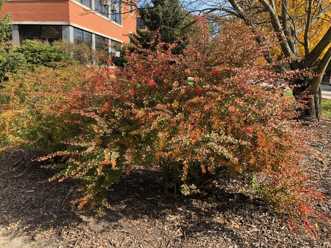 Japanese barberry plant with red foliage