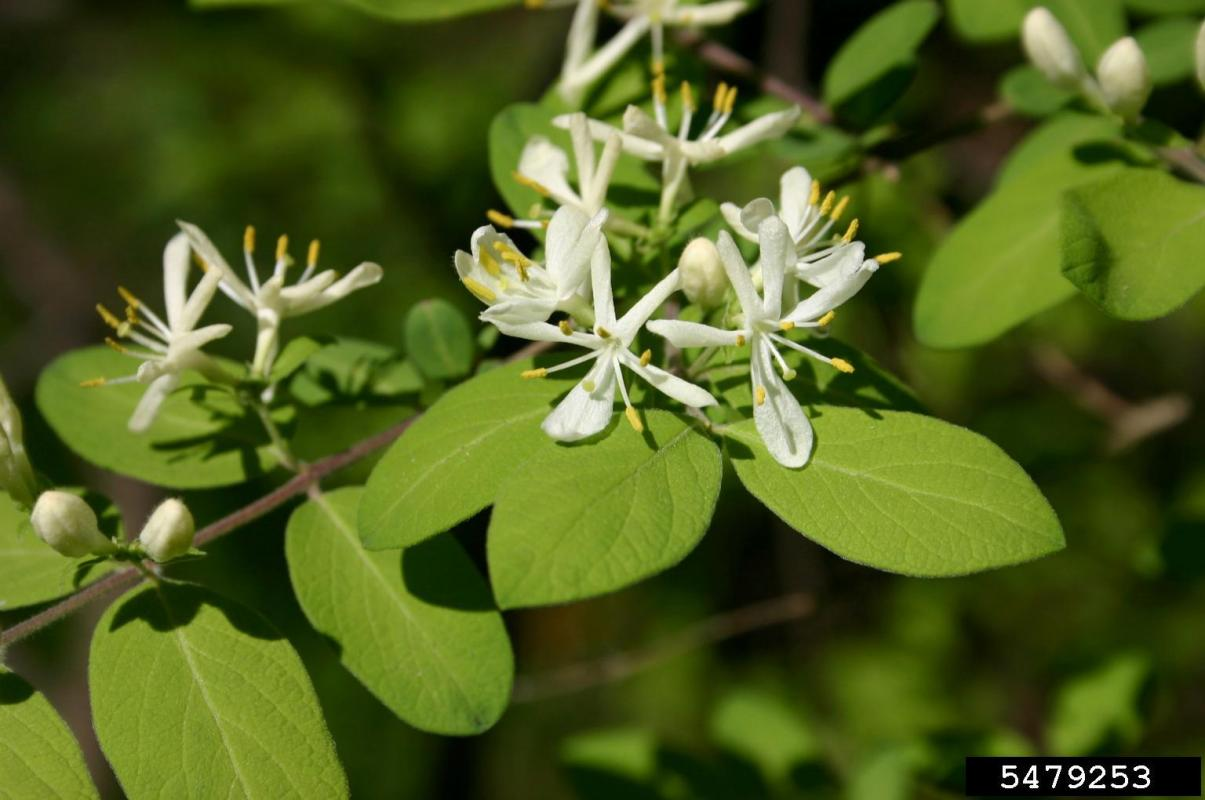 honeysuckle plant in bloom with white flowers