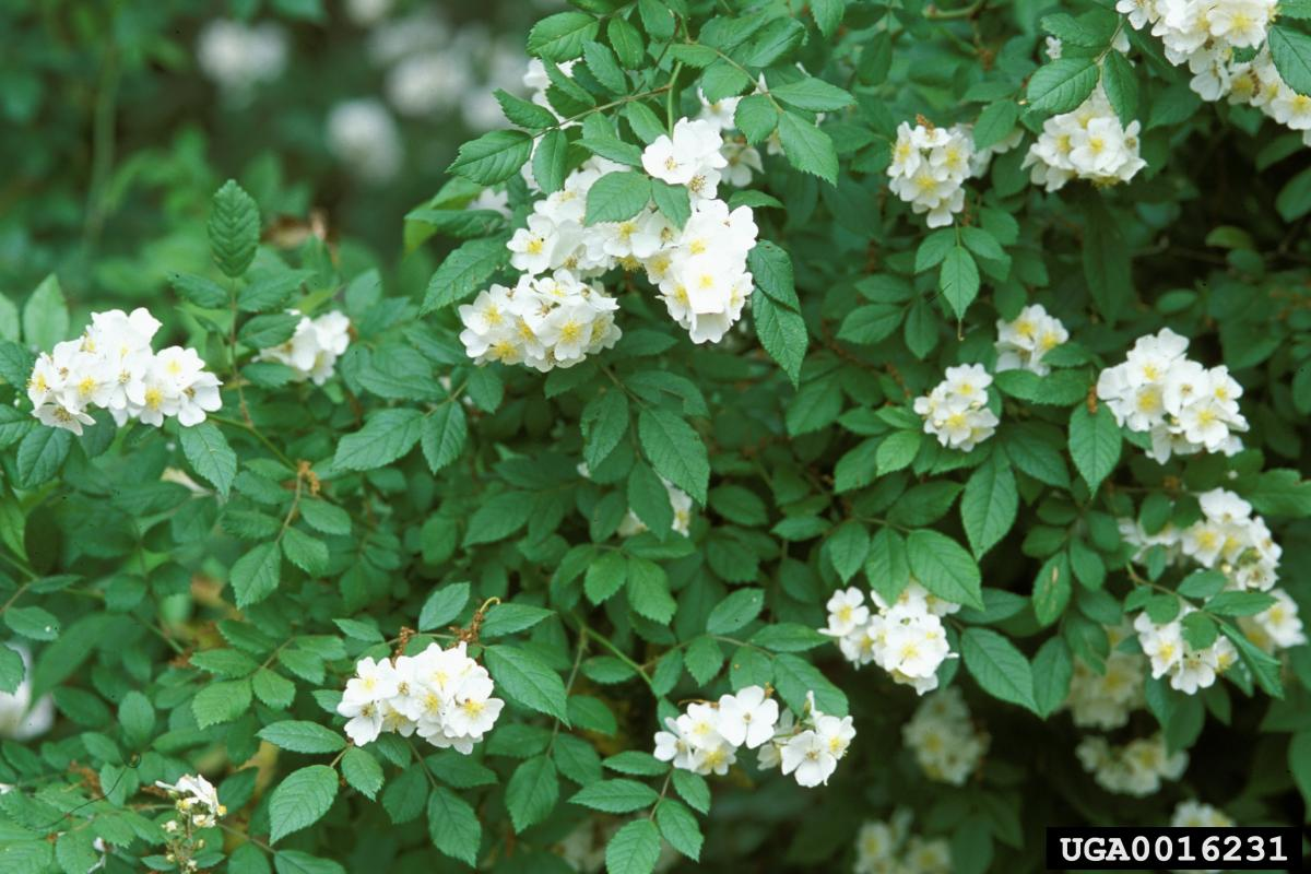multiflora rose plant in bloom with white flowers