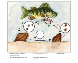 mussel life cycle showing fertilization, female releasing larvae, larvae on fish fills, and juveniles releasing from fish gills