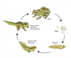 northern leopard frog life cycle