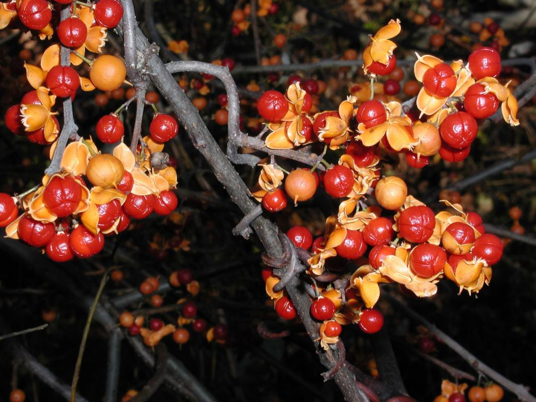 oriental bittersweet red and orange berries