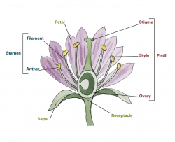 illustration with parts of a flower labeled including the stamen, pistil, petal, sepal, and receptacle