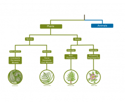 plant classification tree showing spore and seed producing plants, vascular and non-vascular plants, and flowering and non-flowering plants
