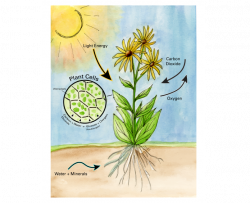 illustration showing the process of photosynthesis