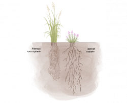 illustration showing prairie cordgrass with fibrous root system and cylindrical blazing star with a taproot system