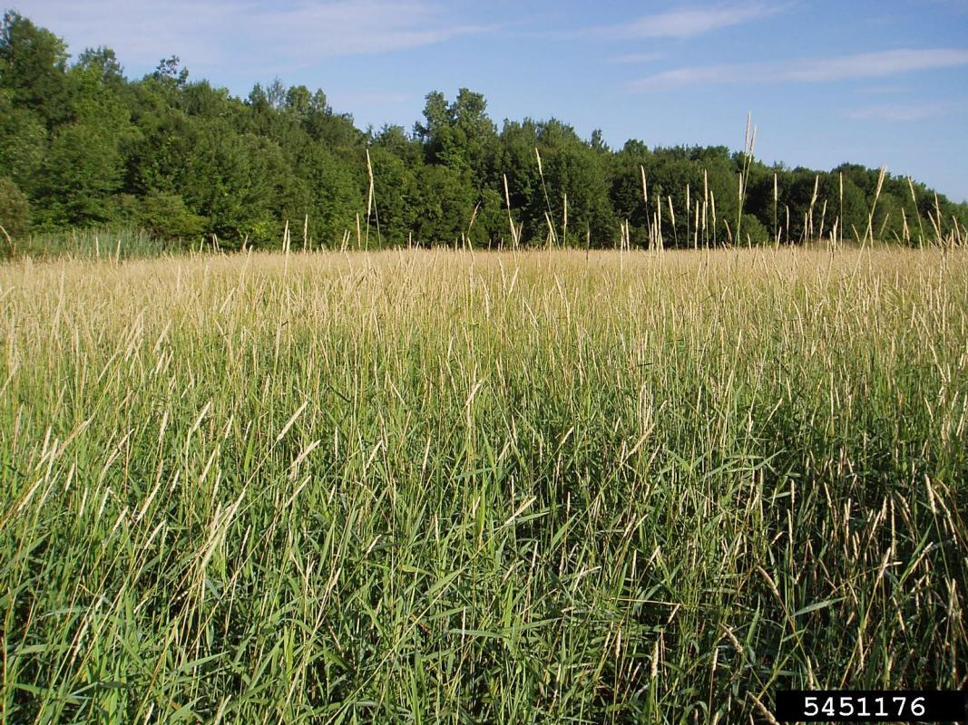 field of reed canary grass