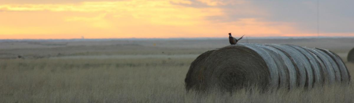 ring-necked pheasant on a row of large round bales in a field with a yellow-orange sunset in the background
