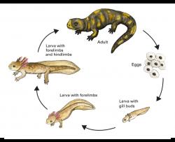tiger salamander life cycle