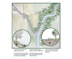 landscape illustration of trees contributing to healthy waterways by reducing erosion, increasing habitat, filtering pollutants, and slowing floodwaters