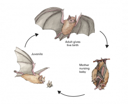 tri-colored bat life cycle